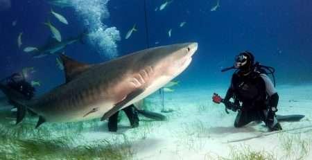 Restos humanos dentro de un tiburón tigre